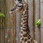 Oh garoto!  É um novo filhote de girafa no parque temático Disney Animal Kingdom